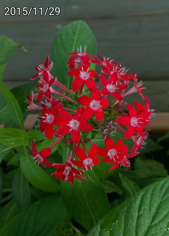 紅色繁星花、red Pentas lanceolata, Egyptian Starcluster