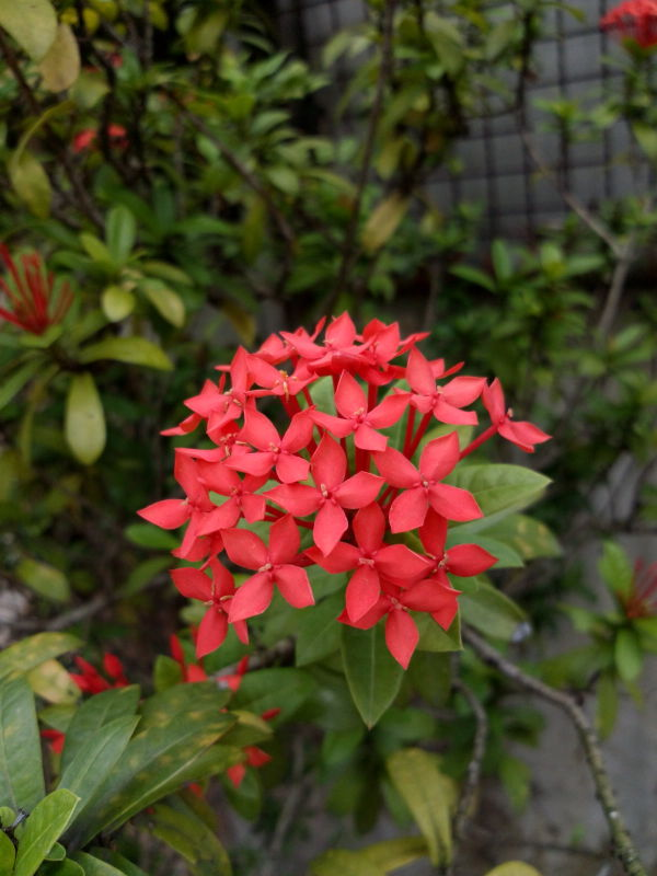紅大王仙丹, Ixora duffii, Giant Ixora, Everblooming Ixora, Malay Ixora