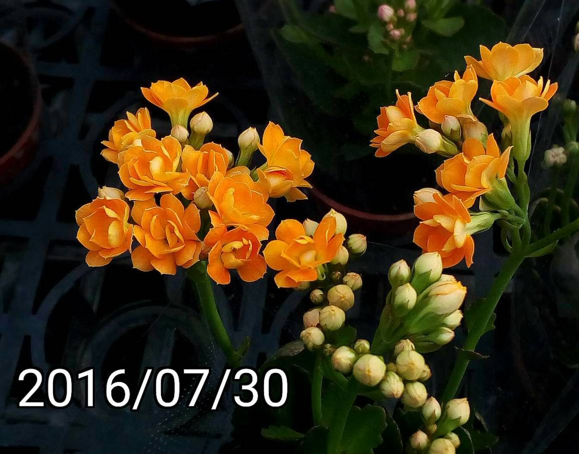 橘色福壽花、長壽花, orange Kalanchoe blossfeldiana, flaming Katy, Christmas kalanchoe, florist kalanchoe, Madagascar widow