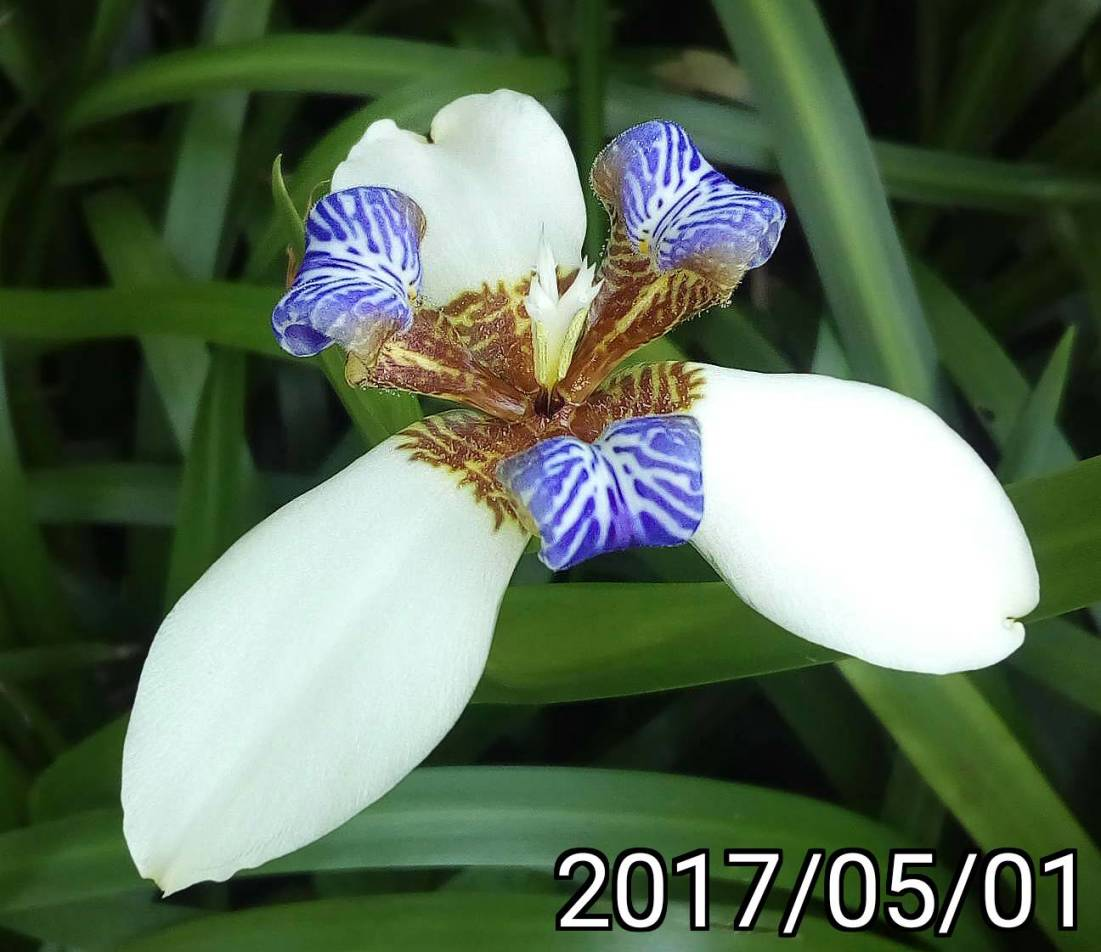 巴西鳶尾花、馬蝶花 Neomarica northiana, North's false flag, walking iris