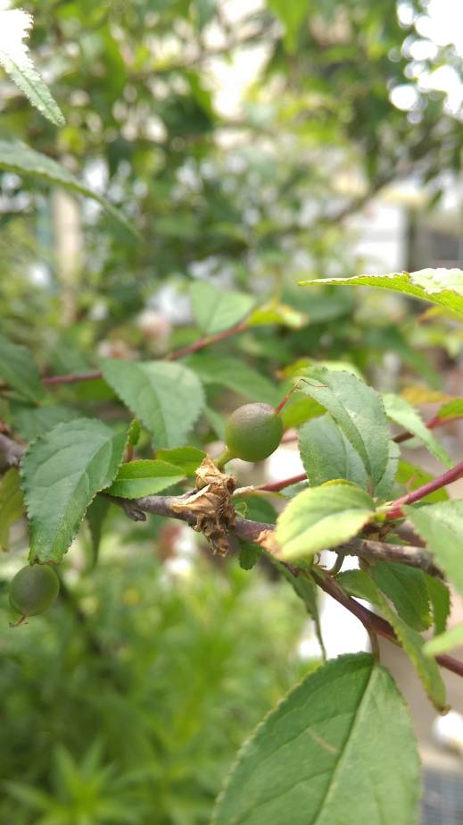 複瓣粉紅色 郁李果實、fruit of Japanese bush cherry, or Oriental bush cherry、Prunus japonica, Cerasus japonica