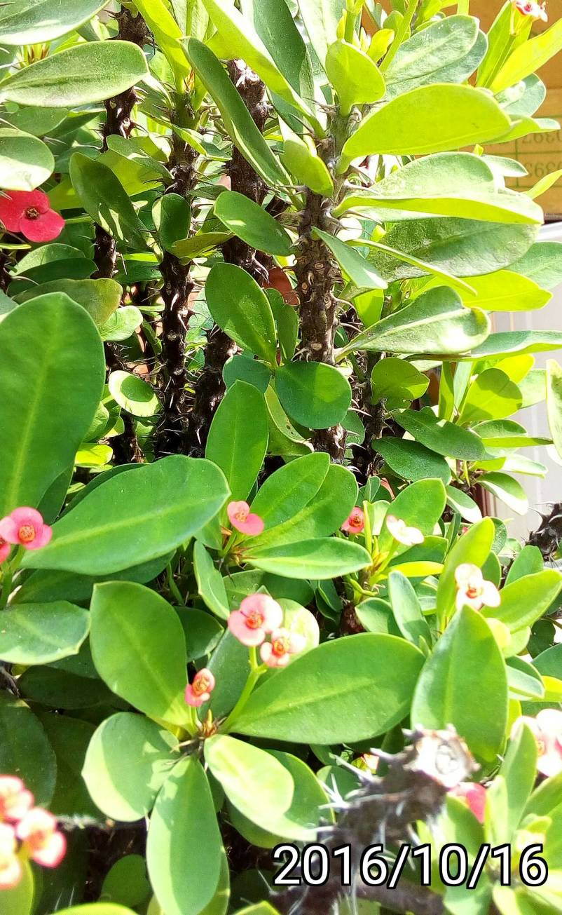 麒麟花, Euphorbia milii, crown of thorns, Christ plant, Christ thorn