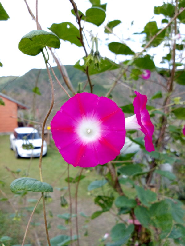 紫紅色的牽牛花, Pink morning glory, Ipomoea Purpurea