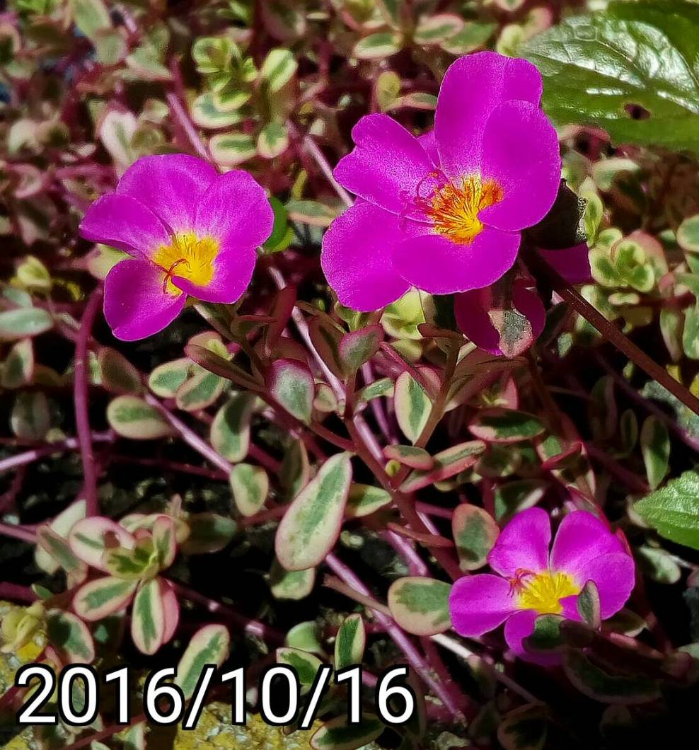 粉紅色彩葉馬齒莧、豬母草  multi-color leaf Portulaca oleracea, common purslane, verdolaga, pigweed, little hogweed,  pursley, and moss rose