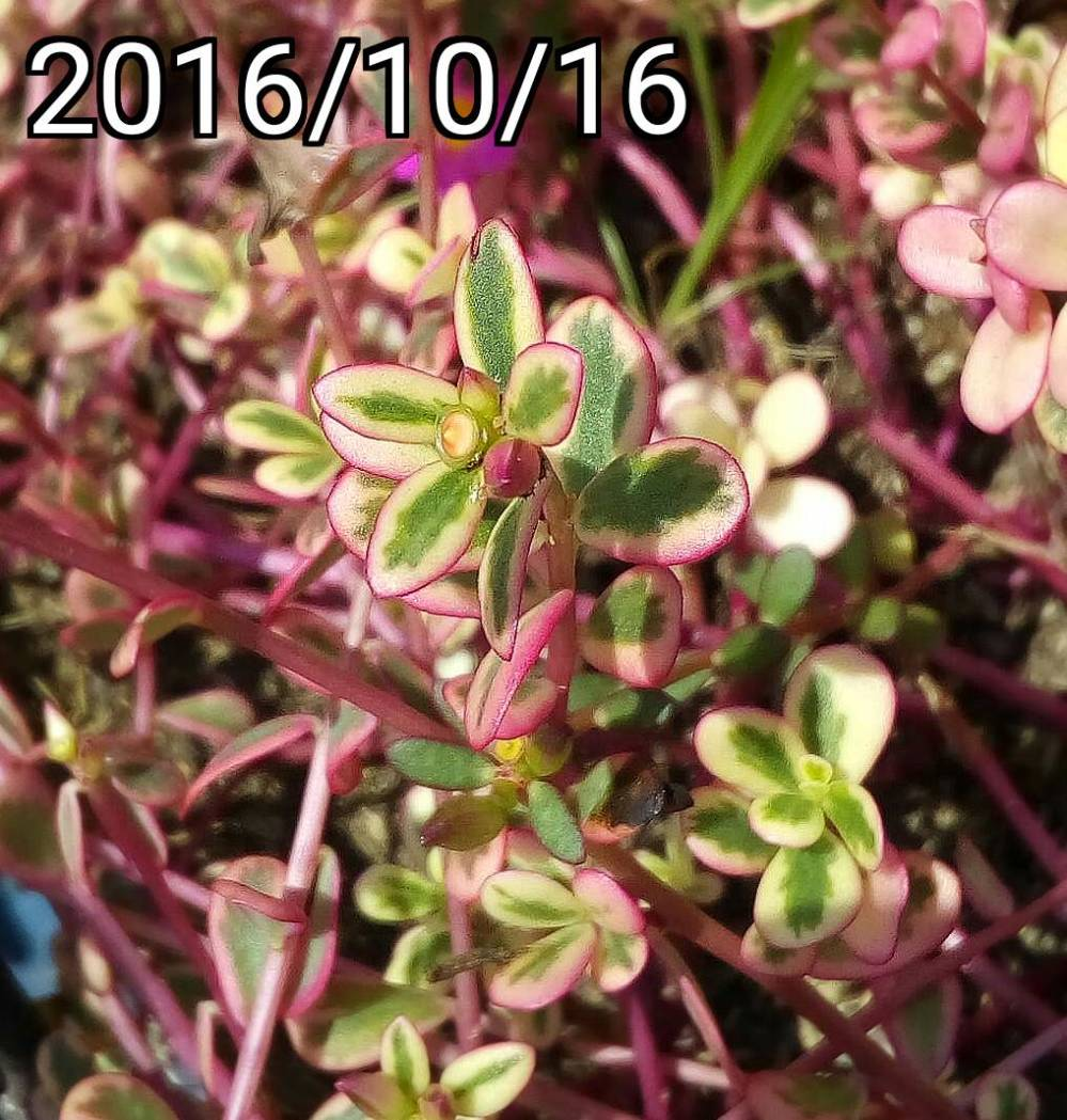 粉紅色彩葉馬齒莧、豬母草的果實花苞 fruit and bud of multi-color leaf Portulaca oleracea, common purslane, verdolaga, pigweed, little hogweed,  pursley, and moss rose