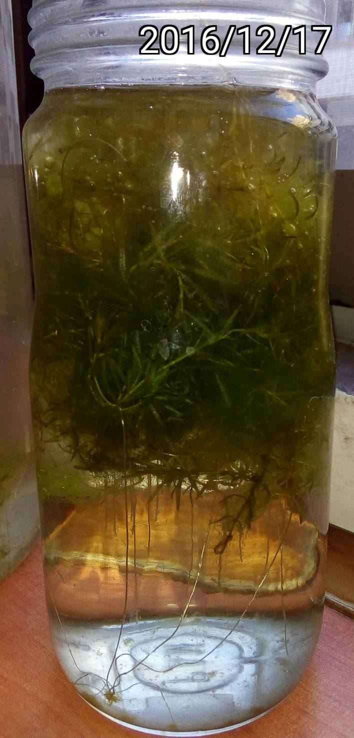 水蘊草的根, roots of Elodea densa, Large-flowered Waterweed or Brazilian Waterweed