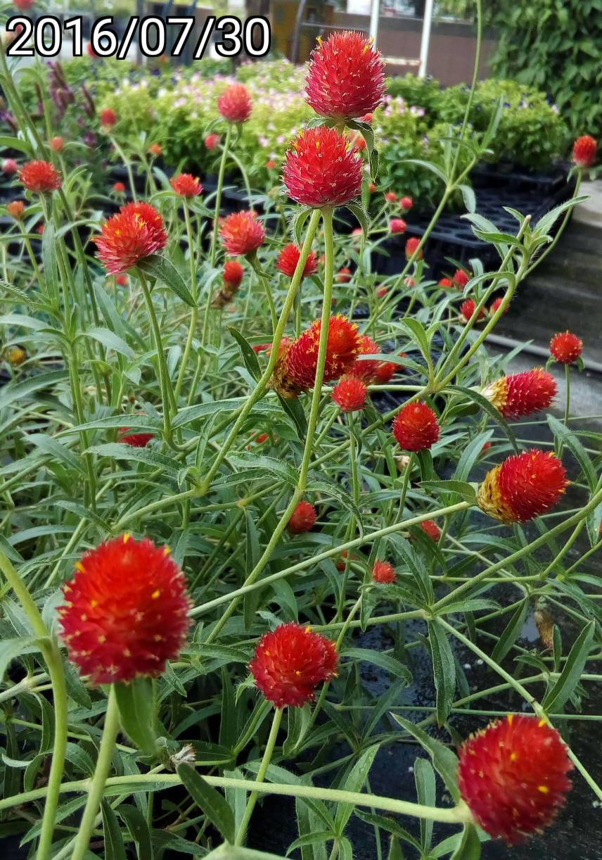 美洲千日紅、Gomphrena haageana, Strawberry Fields globe amaranth