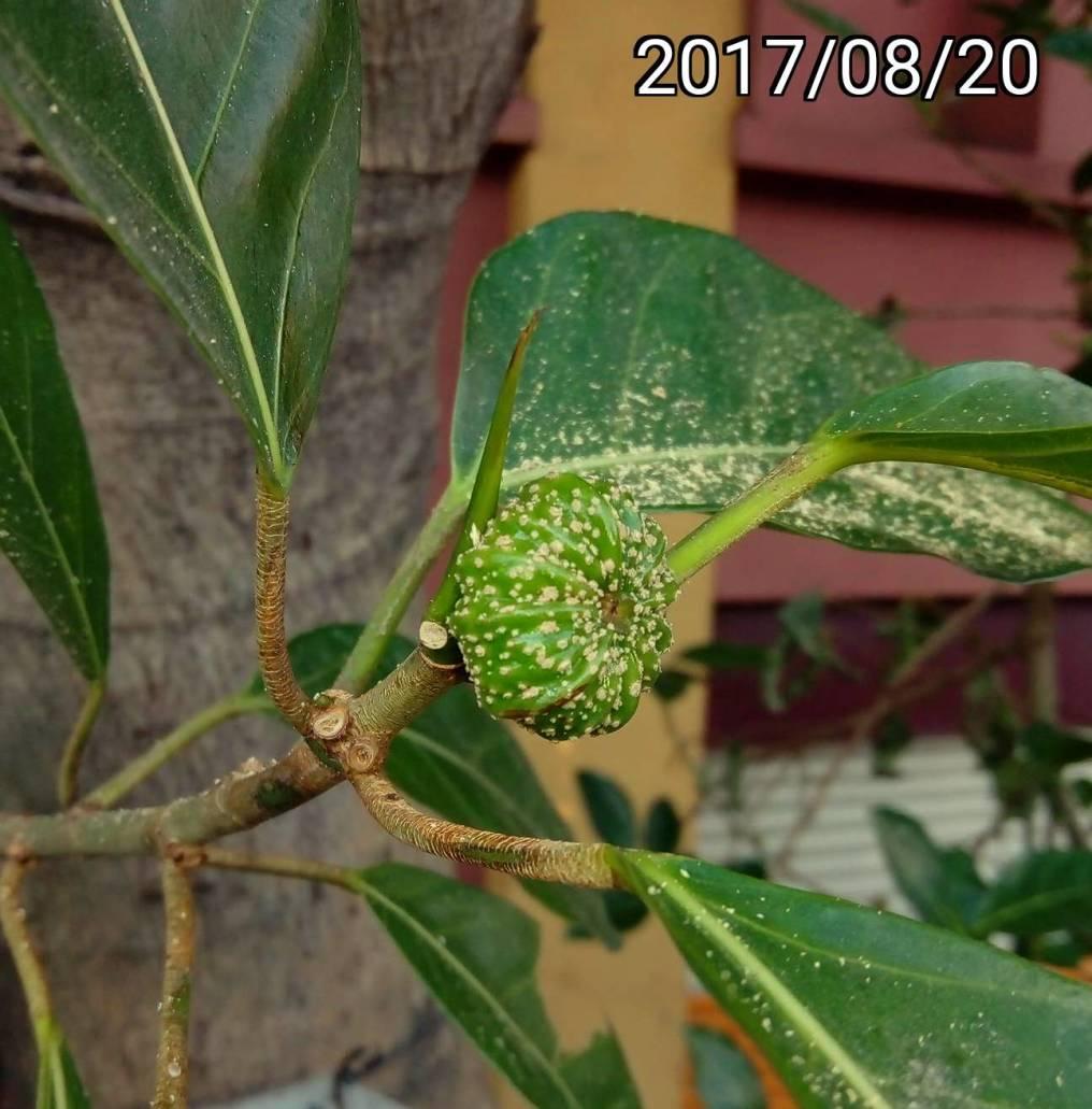 稜果榕 Ficus Septica