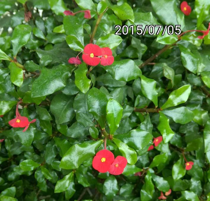 無刺麒麟花、Euphorbia geroldii, Thornless Crown of Thorns