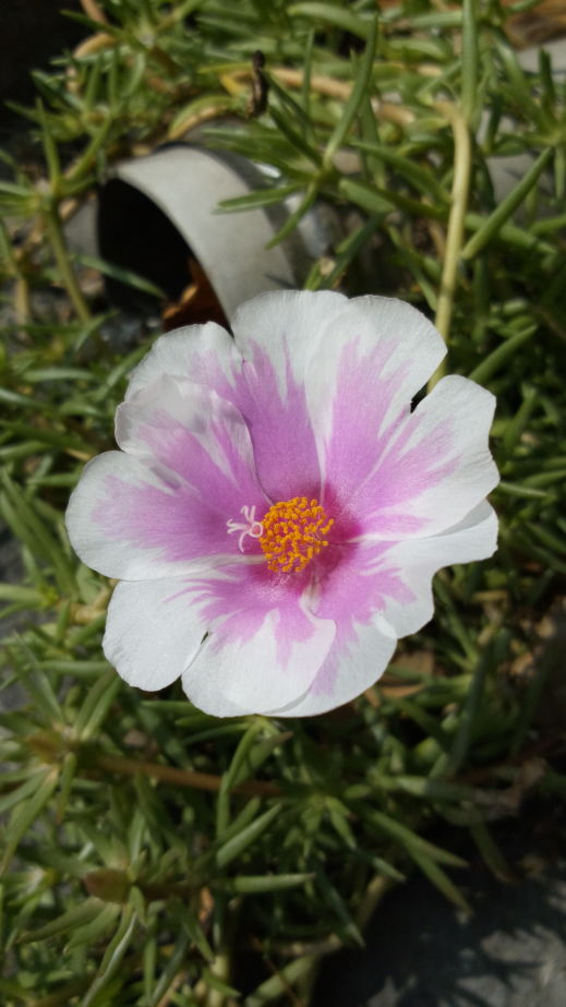 松葉牡丹 Portulaca pilosa, kiss-me-quick, hairy pigweed