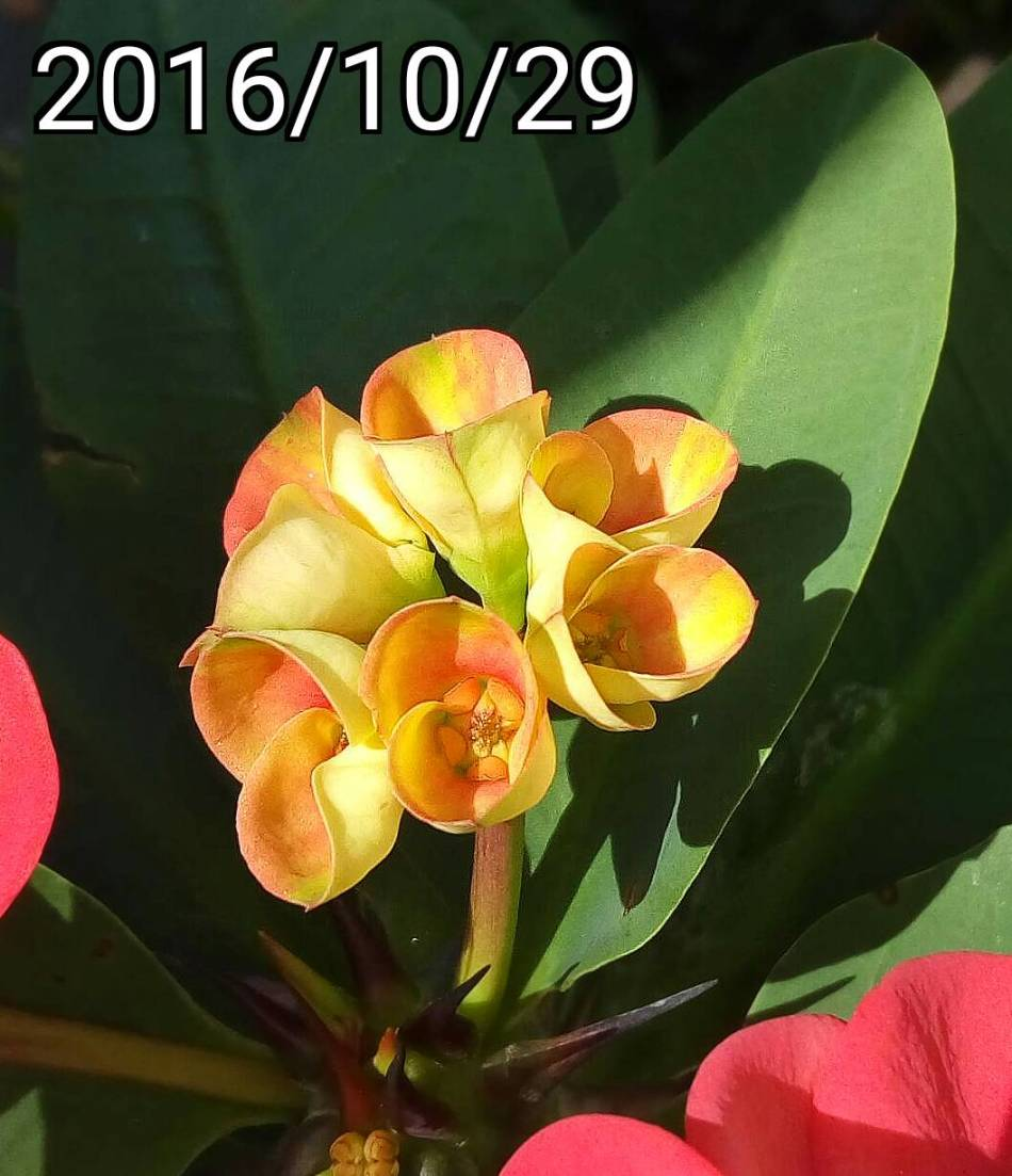 大麒麟花, Euphorbia milii var splendens, large crown of thorns, Christ plant, Christ thorn