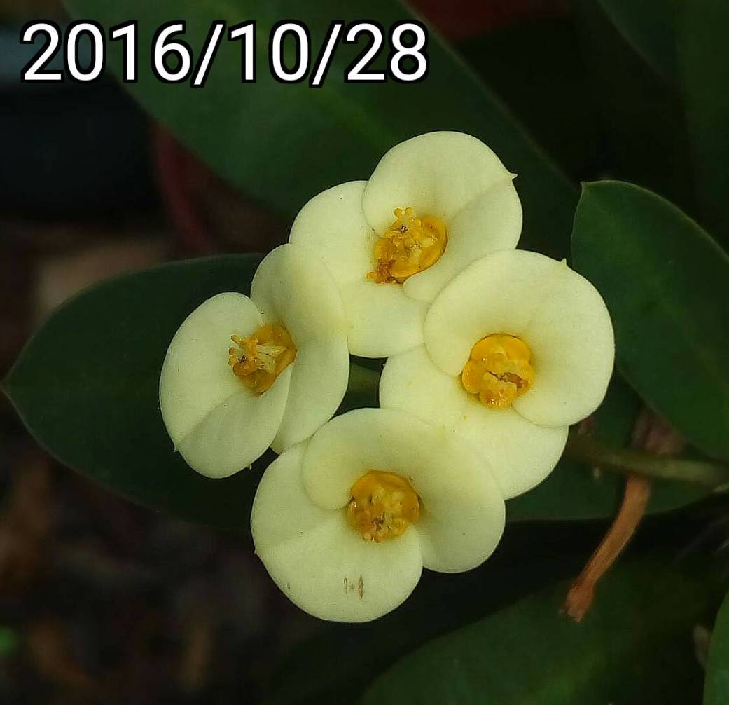 黃麒麟花, yellow Euphorbia milii, crown of thorns, Christ plant, Christ thorn