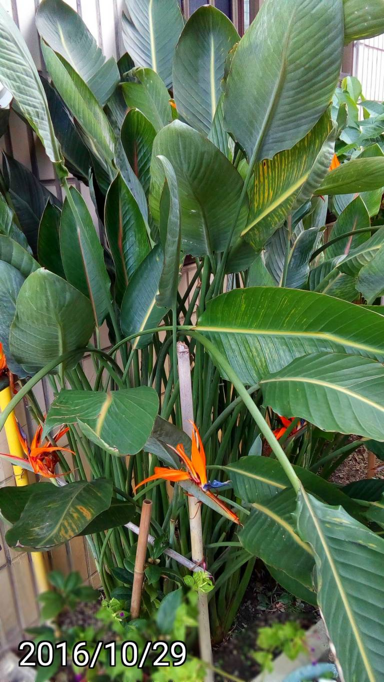 天堂鳥、Strelitzia Regina, bird of paradise flower
