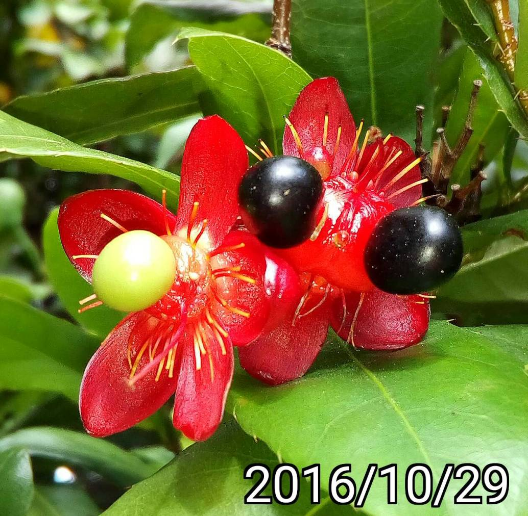 桂葉黃梅、米老鼠樹、金蓮木的成熟果實, ripe fruits of Ochna serrulata, mall-leaved plane, carnival ochna, Bird