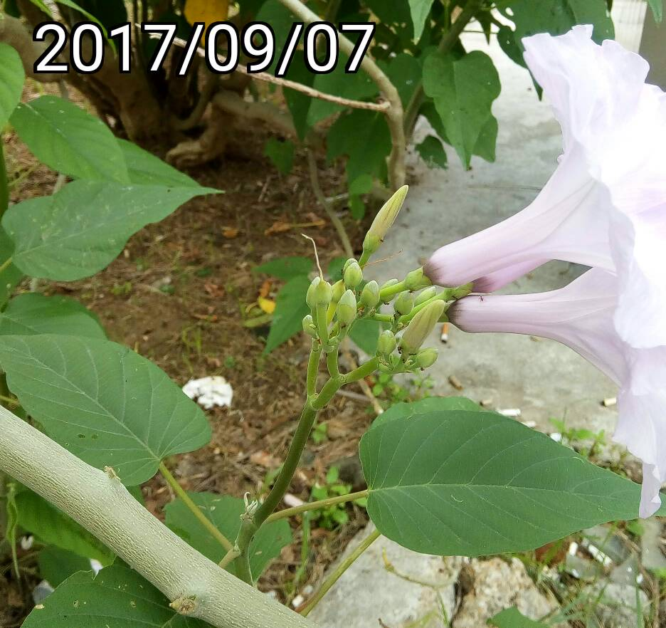 樹牽牛花、Ipomoea carnea, bush morning glory, pink morning glory
