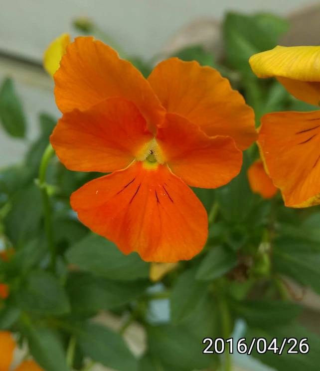橘色三色菫、orange Viola tricolor, heartsease, heart