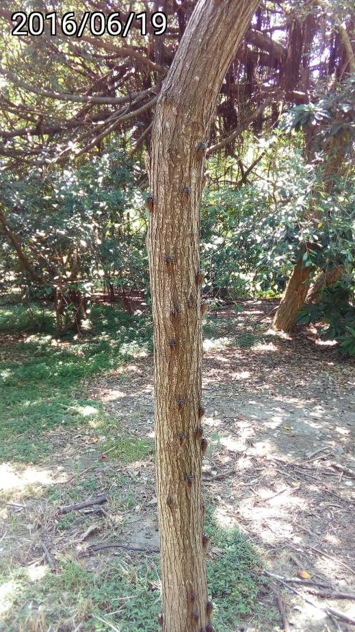 爬滿蟬的樹幹, tree trunk with many cicadas
