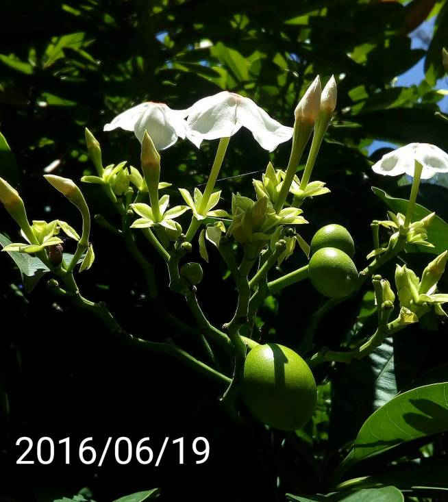 海檬果的花&果實、flowers&fruits of Cerbera manghas, sea mango