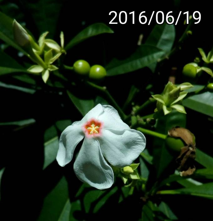 海檬果的花、flower of Cerbera manghas, sea mango
