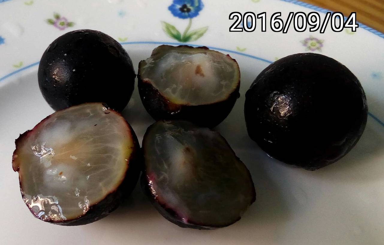 樹葡萄、嘉寶果的果實、fruits of Jabuticaba, Plinia cauliflora