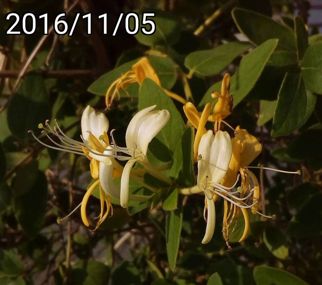 金銀花, Lonicera japonica,  Japanese honeysuckle
