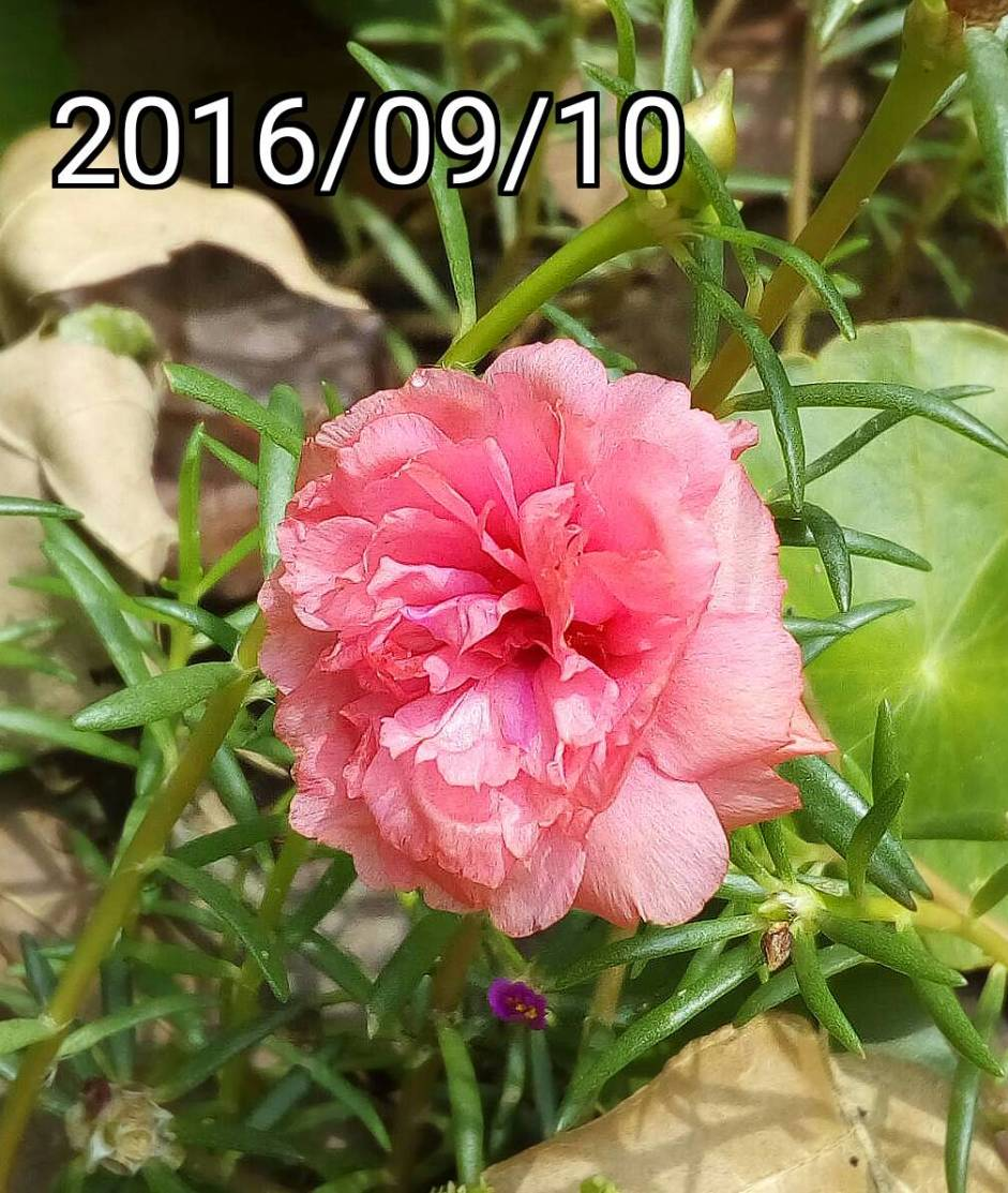 淡粉紅色複瓣松葉牡丹 light pink multi-petalled Portulaca pilosa, kiss-me-quick, hairy pigweed