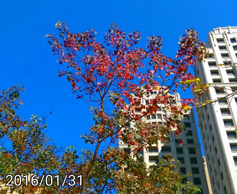 烏桕紅葉, red leaves of Chinese tallow tree, Florida aspen, Triadica sebifera
