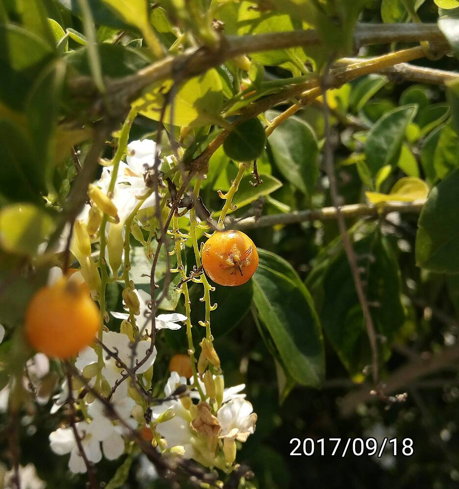 金露花的果實,fruit of  Duranta erecta,  golden dewdrop, pigeon berry, skyflower