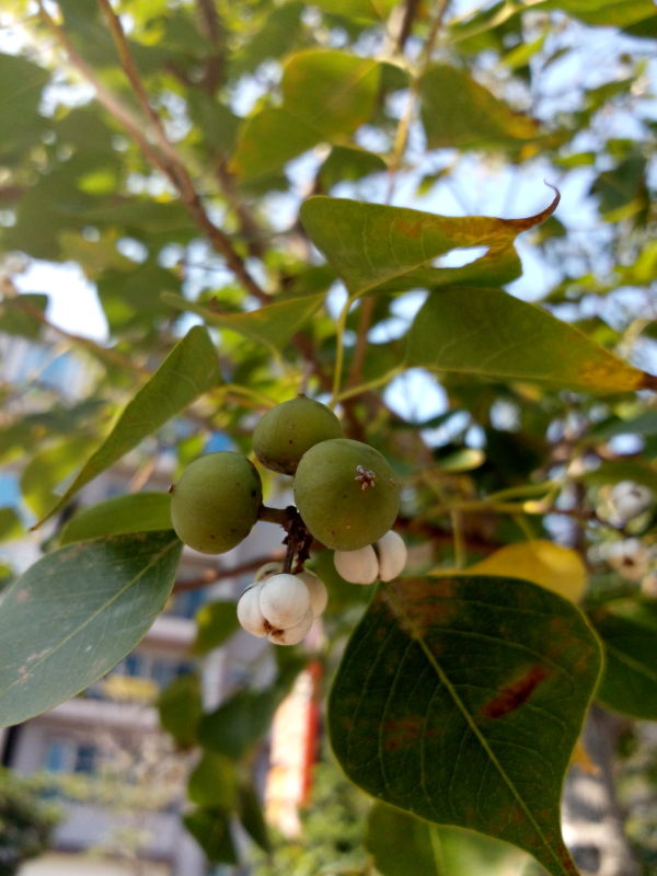 烏桕的綠色果實, fruit flowers of Chinese tallow tree, Florida aspen, Triadica sebifera