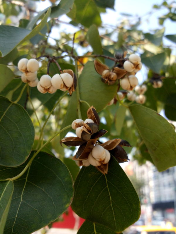 烏桕的變乾裂開的果實 & 種子, fruits and seeds of Chinese tallow tree, Florida aspen, Triadica sebifera