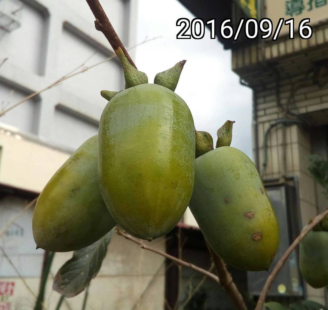 筆柿、竹柿、長條柿的果實, fruits of long persimmon Diospyros kaki