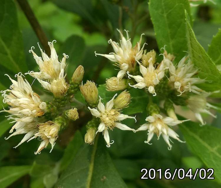 南非葉的花 Flowers of Vernonia amygdalina, bitter leaf