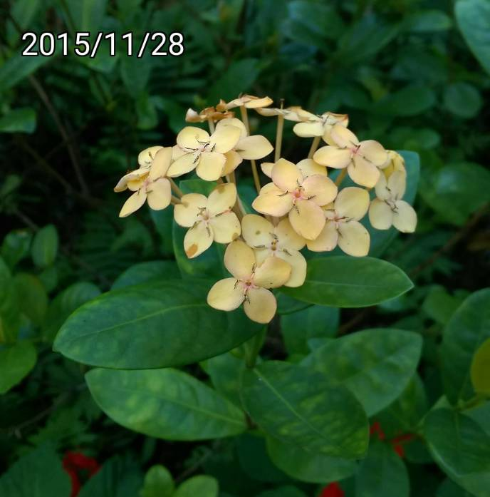 裂瓣淡黃色仙丹花、Ixora chinensis, light yellow West Indian Jasmine