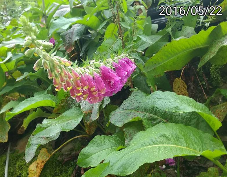毛地黃、Digitalis purpurea, foxglove, common foxglove