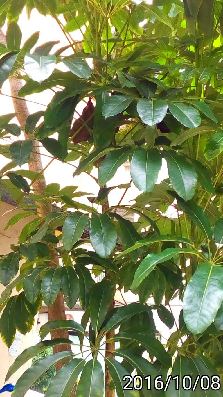 雨傘樹、Schefflera actinophylla, Queensland umbrella tree, octopus tree and amate