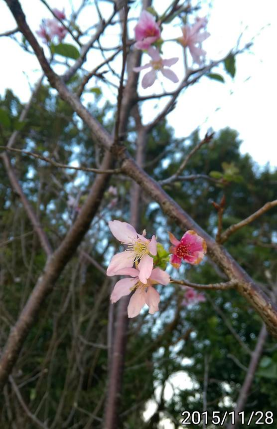 秋天開花的櫻花 eastern cherry blooming in autumn